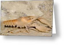 Miami Cave Crayfish Greeting Card