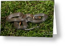 Northern Ringneck Snake Greeting Card