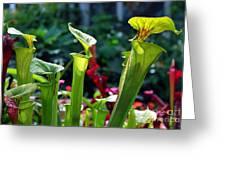 Sarracenia Flava Greeting Card