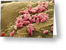 Pseudomonas Aeruginosa Bacteria, Sem Greeting Card