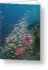 Pygmy Sweeper Fish Greeting Card