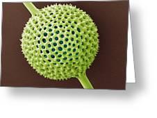Radiolarian, Sem Greeting Card by Steve Gschmeissner