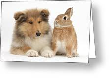 Rough Collie Pup With Rabbit Greeting Card