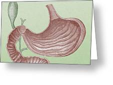 Stomach And Bile Duct Greeting Card
