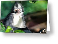 Thomas's Leaf Monkey Greeting Card