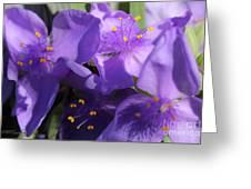Tradescantia Named Andersonia Mauve Greeting Card