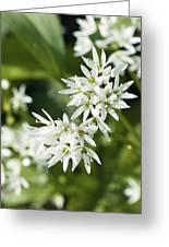 Wild Garlic (allium Ursinum) Greeting Card