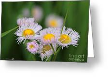Wildflower Named Robin's Plantain Greeting Card
