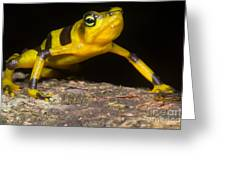 Harlequin Toad Greeting Card