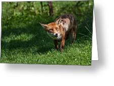 A British Red Fox Greeting Card