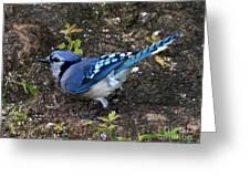 Blue-jay Greeting Card