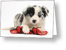 Border Collie Pup Greeting Card