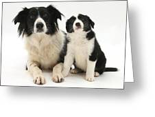 Border Collies Greeting Card