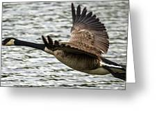 Canadian Goose Greeting Card