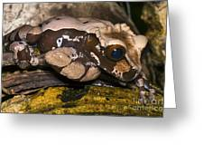 Crowned Tree Frog Greeting Card