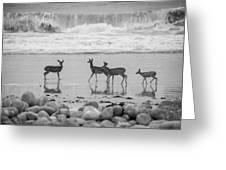 4 Deer In Surf Black And White Greeting Card