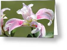 Double Oriental Lily Named Magic Star Greeting Card