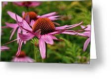 Eastern Purple Coneflower Greeting Card