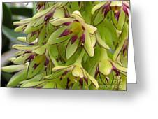 Eucomis Named Bicolor Greeting Card