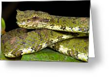 Eyelash Viper Greeting Card