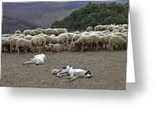 Flock Of Sheep Greeting Card