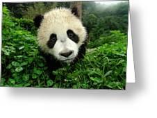 Giant Panda Ailuropoda Melanoleuca Greeting Card by Katherine Feng