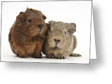 Guinea Pigs Greeting Card