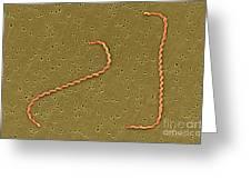 Leptospira Interrogans Greeting Card