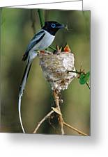 Madagascar Paradise Flycatcher Greeting Card