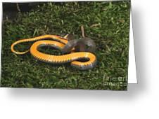 Northern Ringneck Snake Greeting Card