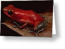 Strawberry Poison Dart Frog Dendrobates Greeting Card