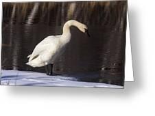 Trumpeter Swan Greeting Card