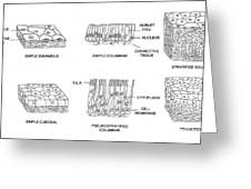 Types Of Epithelial Cells Greeting Card