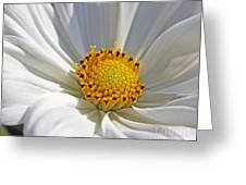 White Cosmos Greeting Card
