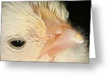 White Leghorn Chick Greeting Card