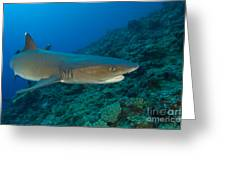 Whitetip Reef Shark, Kimbe Bay, Papua Greeting Card