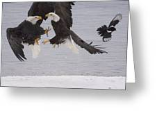 Bald Eagle Haliaeetus Leucocephalus Greeting Card