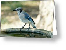 Blue-jay  Greeting Card
