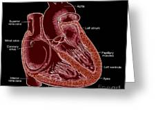 Illustration Of Heart Anatomy Greeting Card by Science Source