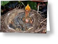 Robin Nestlings Greeting Card
