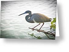 Tricolored Heron Greeting Card