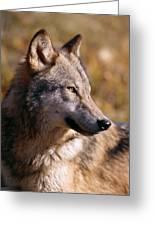 Gray Wolf Greeting Card