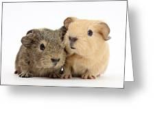 Guinea Pigs Greeting Card