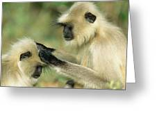 Hanuman Langur Semnopithecus Entellus Greeting Card