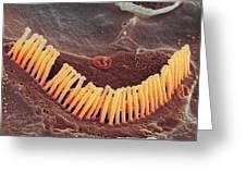 Inner Ear Hair Cells, Sem Greeting Card