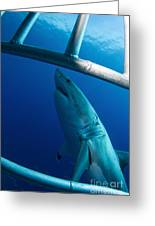 Male Great White Shark, Guadalupe Greeting Card