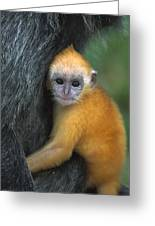 Silvered Leaf Monkey Trachypithecus Greeting Card