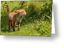 A British Red Fox Greeting Card