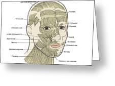 Illustration Of Facial Muscles Greeting Card