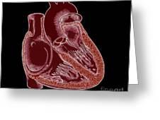 Illustration Of Heart Anatomy Greeting Card